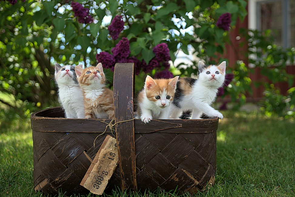A wicker basket of kittens